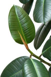 rubber plant houseplant