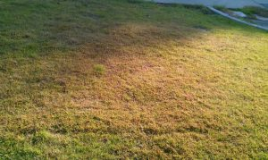 Yellow Lawn after being cut when too long